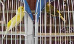 $150 Canaries for Sale (Dearborn MI)