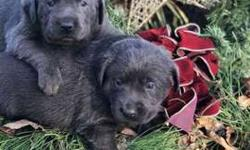 1 Silver Lab female and 2 Charcoal Male Puppies for Sale