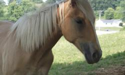 2014 AQHA Palomino Filly