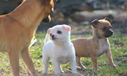 2 ACA Registered Toy Chihuahua Puppies. Applehead'ish