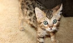 2 female & 1 male brown spotted kittens available