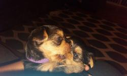 2 Female Yorkies for sale