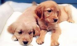 2 Gleaming Healthy Male and Golden Retriever Puppies Ready