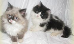 2 Gorgeous Baby Ragamuffin Boys READY NOW