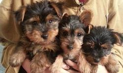 2 Gorgeous Yorkshire Terrier Puppies left