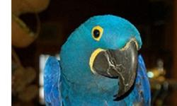 . . .* 2 Handfed M/F Hyacinth Macaw For New Family