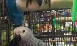 2 Playful Hand Reared Congo African Grey Parrots