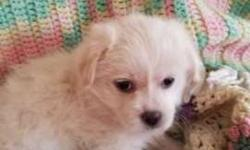 2 Tiny Shih Tzu Mix Puppies Left