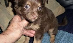 3 Charming Little chiweenie puppies, will mature about 8