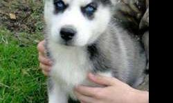 3 Energetic Healthy Male and Female Siberian Husky Puppies