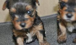 3 yorkie puppies looking for lovely and caring home