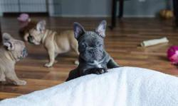 4 Alive Young M/F Blue French Bulldog Puppies