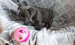 4 Jack M/F Micro Blue French Bulldog Puppies