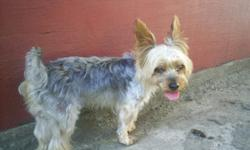 $500 Yorkshire Terrier Stud Service