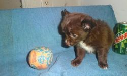 8wk. Chihuahua Puppies Longhaired