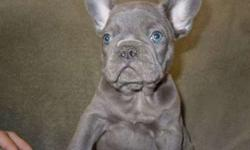 aadmirable Micro Blue French Bulldog Puppies