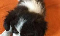 ACA Papillon Puppies