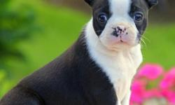 Active Humble Boston Terrier Puppies Available Coming Home