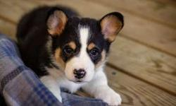 Active Pembroke Welsh Corgi Puppies For Sale