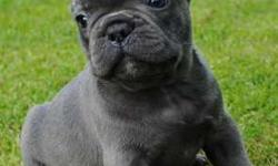 admirab Trained French Bulldog Puppies