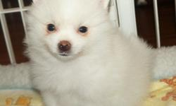 Adorable AKC Cream Parti Male Pomeranian
