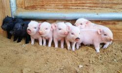 Adorable Baby Pot Belly Pigs