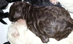 adorable ckc registered f1b labradoodle puppies