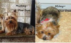 Adorable CKC Yorkie Pups