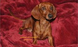 Adorable Female Red Smooth Coat Miniature Dachshund