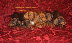 Adorable, Healthy Short-Haired Smooth Coat Dachshunds