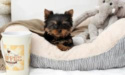 Adorable Micro and Tiny Teacup Yorkies Available