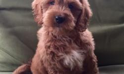 Adorable Mini Goldendoodle Puppies