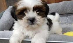 Adorable Shih Tzu puppies