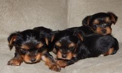 Adorable Yorkie Puppies Akc Registered