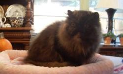 Adult Persian Spayed Tortoiseshell Female