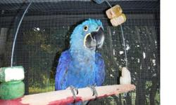 .. ..Affectionate Hyacinth Macaws