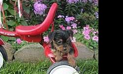 affectionate Yorkie puppies for sale (9 weeks old)