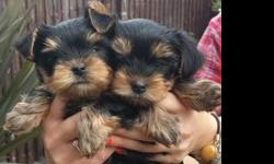 Affordable Cuties - 11 Weeks Old Yorkie Puppies