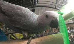 African Grey Parrot With Cage Ready