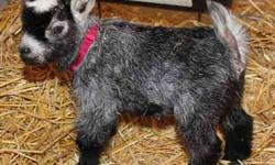 African Pygmy Goats Registered - Verified 5-Star Breeder