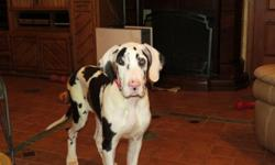 AKC 75% Eruopean 25% American Great Dane Puppies 20 Weeks