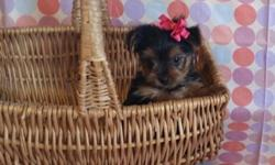 AKC affectionate Yorkie puppies Available