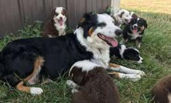 Akc Australian Shepherd Puppies -Beautifuls