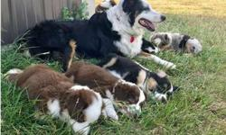 Akc Australian Shepherd Puppies -Giving New