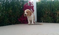 AKC Beagle Puppies with Grand Champion Bloodlines
