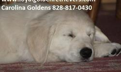 AKC British Cream Golden Retriever male pup
