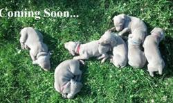 AKC Champion Weimaraner Puppies