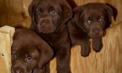 AKC Chocolate Labs