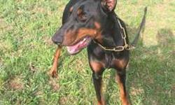 AKC Doberman Puppies