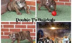 AKC English Bulldogs Puppies